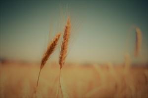 Epis de blés avant récolte pour industrie agroalimentaire